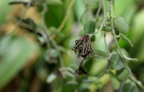 Hoya serpens 12339947.1962a36d.500