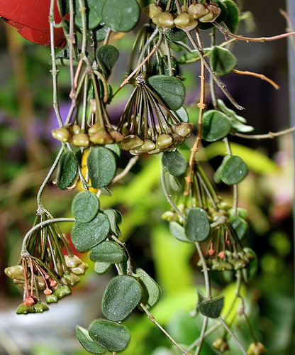 Hoya serpens