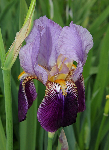 Iris 'Alcazar' - Vilmorin 1910 12670442.f3870c63.500