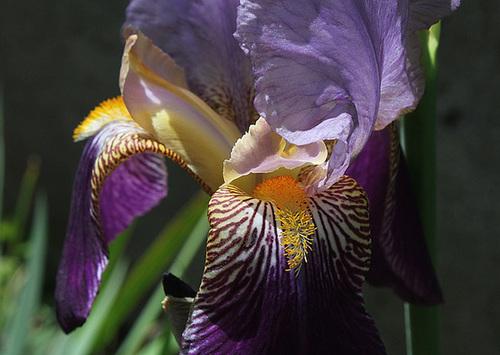 Iris 'Alcazar' - Vilmorin 1910 12670444.8c00437f.500