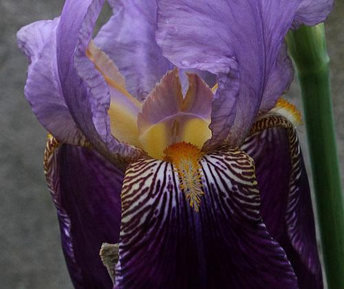 Iris 'Alcazar' - Vilmorin 1910 12670445.4959a247.500