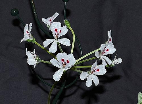 Pelargonium echinatum DSC 0121
