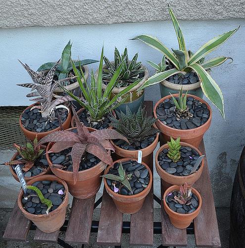 Agave Aloe DSC 0059