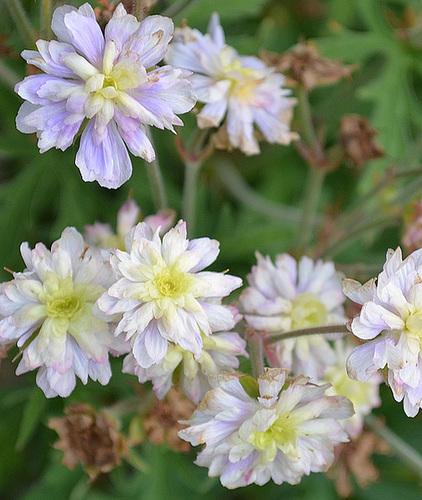 Geranium pratense 'summerskies' DSC 0065