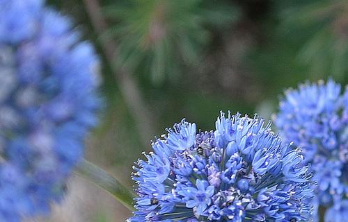 Allium caeruleum DSC 0077