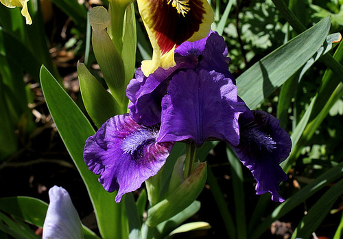 Iris nain Banburry Ruffles