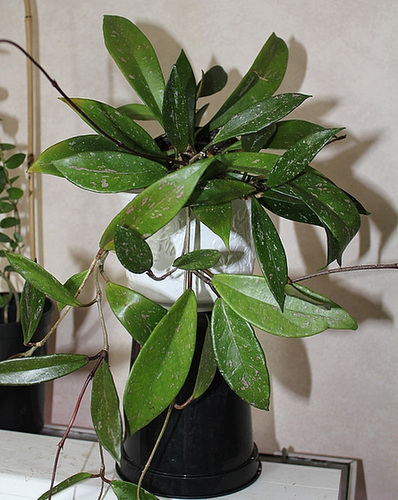 Hoya pubicalix (2)