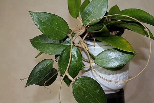 Hoya parasitica ( affinis )