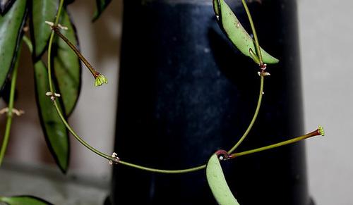 Hoya wayettii (3)