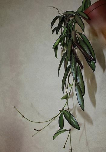 Hoya wayetii (4)