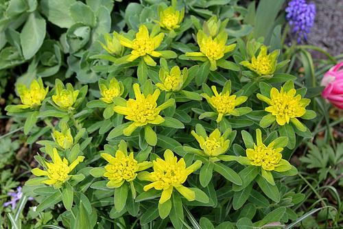 Euphorbia polychroma (2)