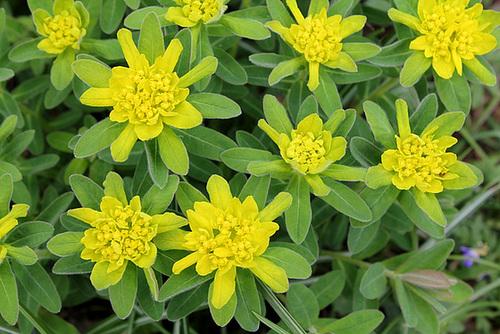 Euphorbia polychroma (3)