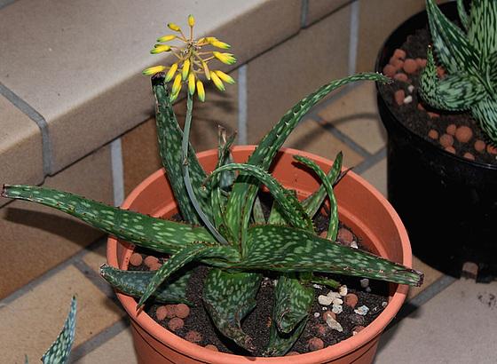 Aloe (5)