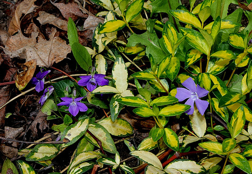 Violette et pervenche