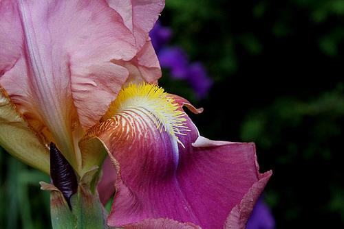 Iris 'Giant Rose' - Schreiner 1959  12756567.6fabcc87.500