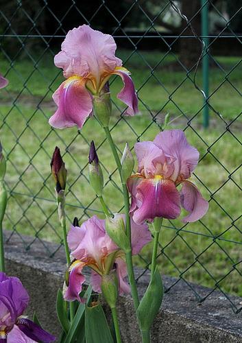 Iris 'Giant Rose' - Schreiner 1959  12756592.4ffde00e.500