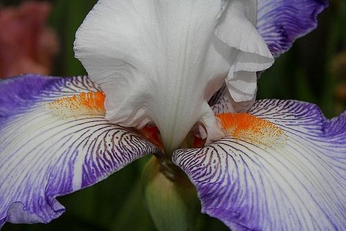 Iris Sixtine C