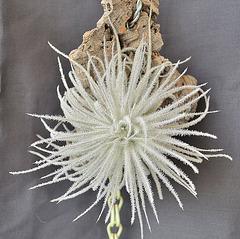Tillandsia tectorum DSC 0002