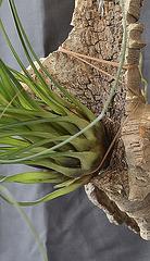 Tillandsia punctulata DSC 0005