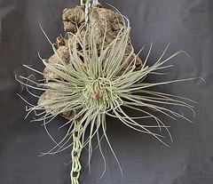 Tillandsia magnusiana DSC 0007