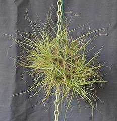 Tillandsia schiedeana DSC 0019