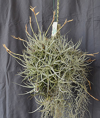 Tillandsia schiedeana var. glabrior DSC 0022.JPG