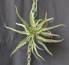 Tillandsia streptophylla DSC 0036