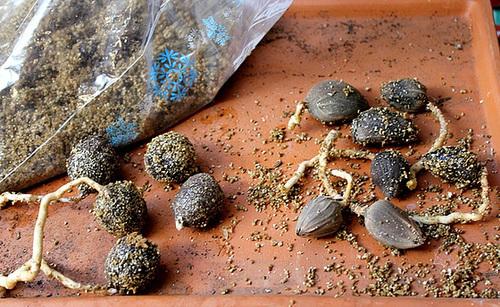 Pré-germination de Palmiers en sac