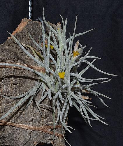 Tillandsia crocata DSC 0003