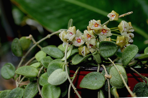 Hoya serpens (2)