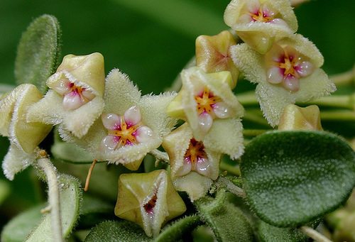 Hoya serpens (5)