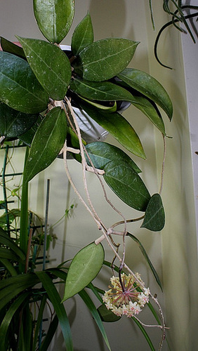 Hoya parasitica affin.