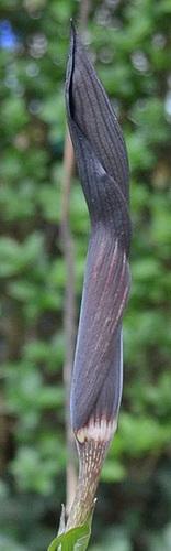 arisaema mayebarae DSC 0184