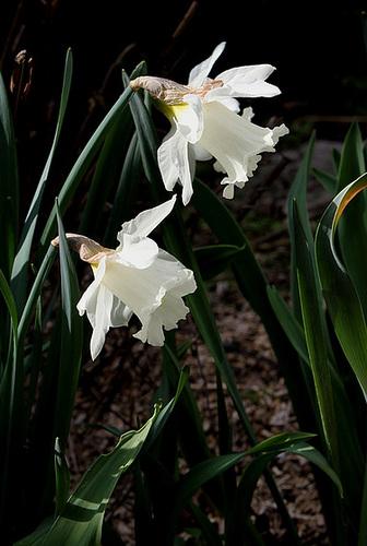 Narcisses trompettes blancs