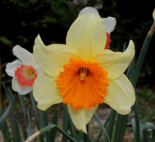 Narcisses hybrides (6)