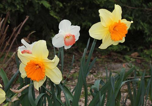 Narcisses hybrides (7)