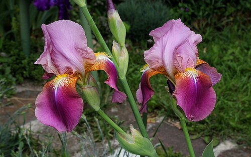 Iris Giant Rose