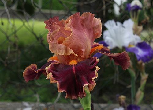 Iris Impressionist