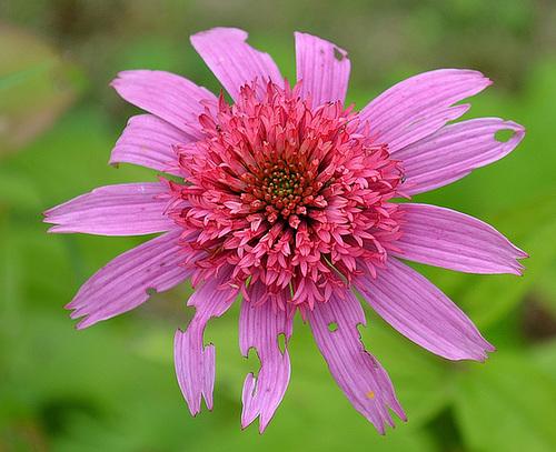 Echinacea purpurea 'pink double delight' DSC 0125