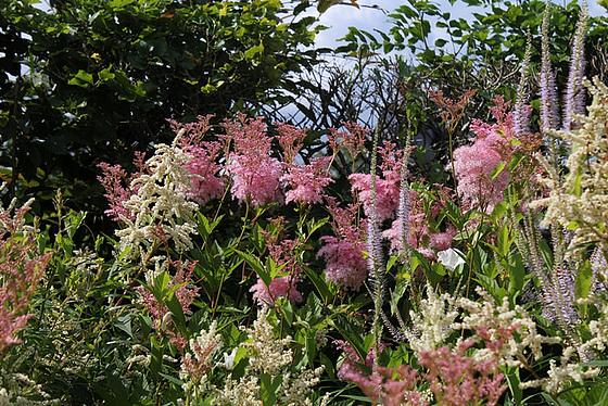 Persicaires, Astilbes roses et Veronicastrum