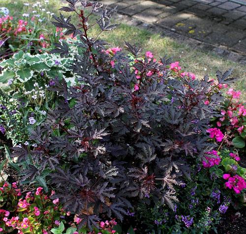 Hibiscus acetosella (3)