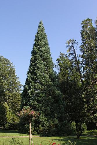 Sequoïa du jardin Vinay