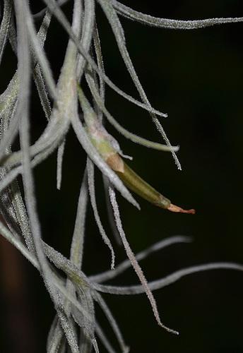Tillandsia usneoide DSC 0122