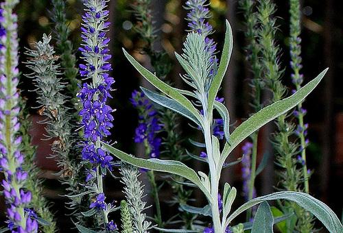 Veronica spicata ssp incana
