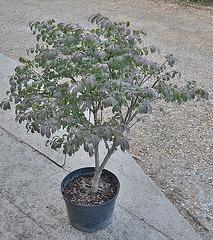 Euonymus alatus 'Compactus' DSC 0064