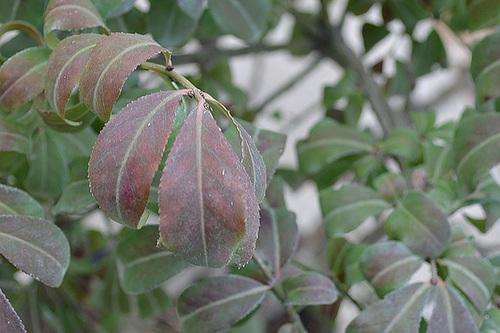 Euonymus alatus 'Compactus' DSC 0066