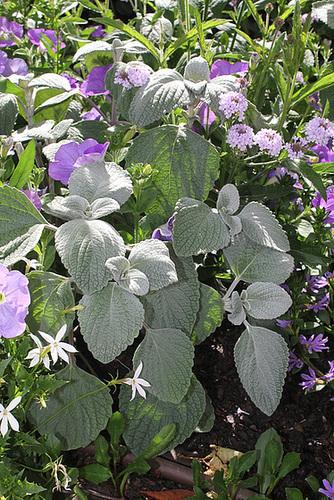 Les plantes des massifs bleus-blancs