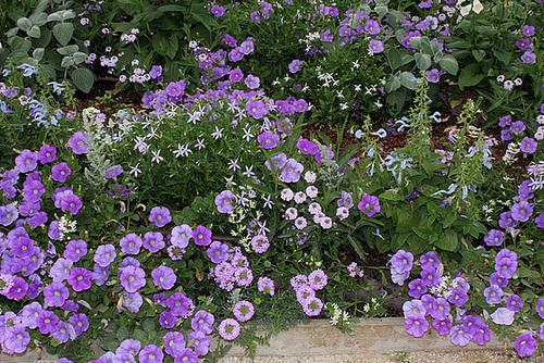 Les plantes des massifs bleus-blancs (2)