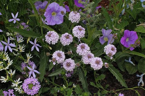 Les plantes des massifs bleus-blancs (5)