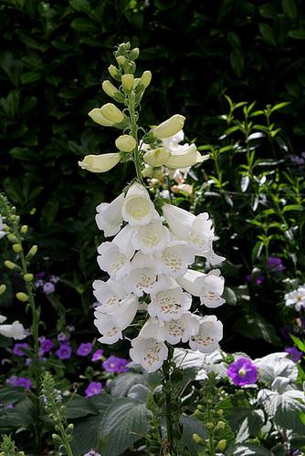 Les plantes des massifs bleus-blancs (6)